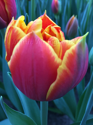Tulipa Crossfire