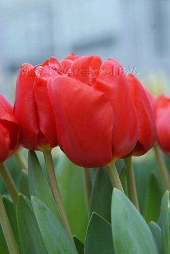 Tulipa Escape