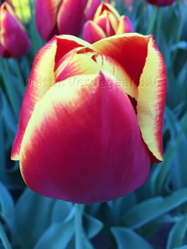 Tulipa Flying Dragon