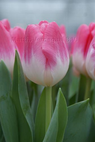Tulipa Jabadabadoo