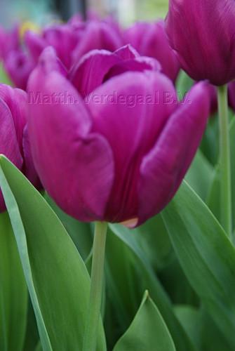 Tulipa Laptop