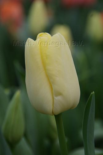 Tulipa Lemonade