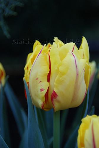 Tulipa Monsella
