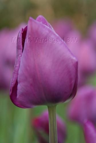 Tulipa Negrita