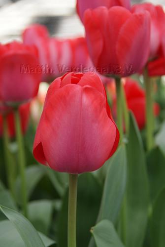Tulipa Niigata