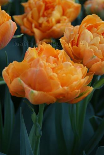 Tulipa Orca