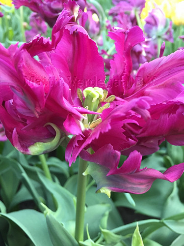 Tulipa Parrot Negrita