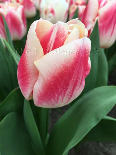 Tulipa Pleasure