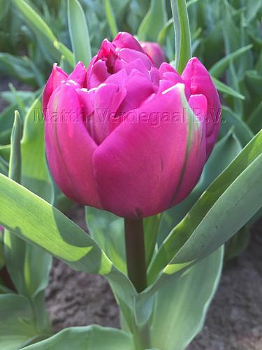 Tulipa Purple Boy