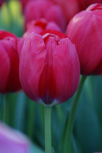 Tulipa Red Power