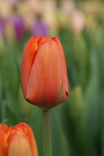 Tulipa Triple A