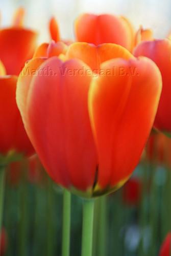 Tulipa World's Favourite