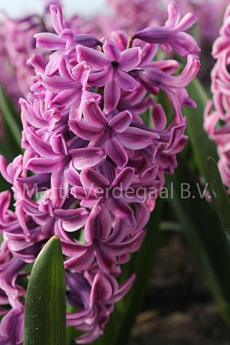 Hyacinthus Aladdin