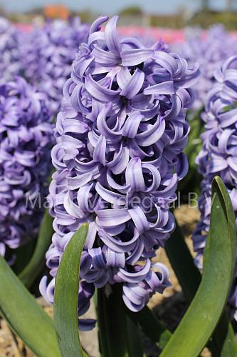 Hyacinthus Chicago
