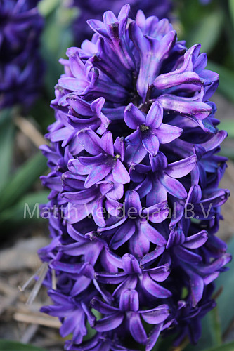 Hyacinthus Discovery