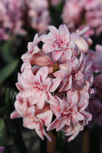 Hyacinthus Spring Beauty