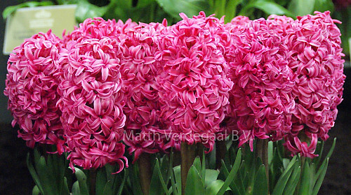 Hyacinthus Spring Joy