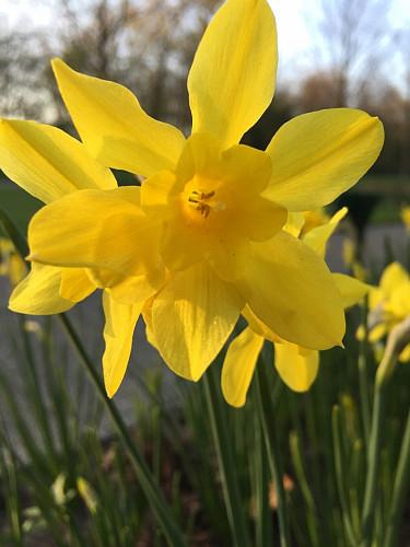 Narcissus Campernelle