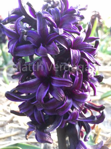 Hyacinthus Pacific Ocean