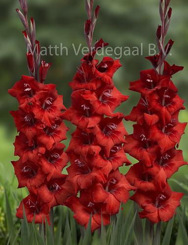 Gladiolus Dvorsjak