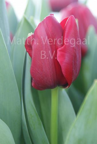 Tulipa Cincinnatie