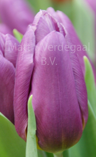 Tulipa Copex