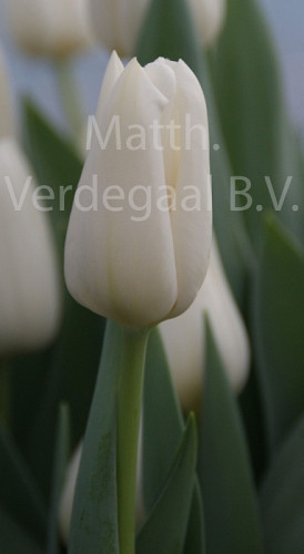 Tulipa Darwisnow