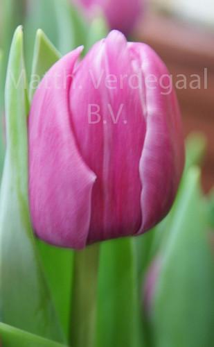 Tulipa Double You