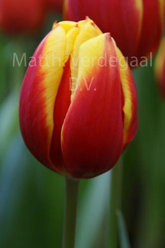 Tulipa Dow Jones