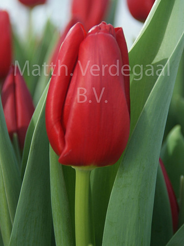 Tulipa Endurance