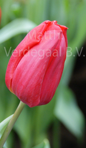 Tulipa First Star
