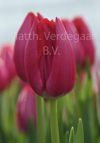 Tulipa Frontline
