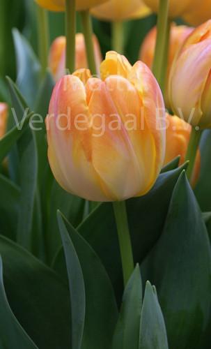 Tulipa Granny Award