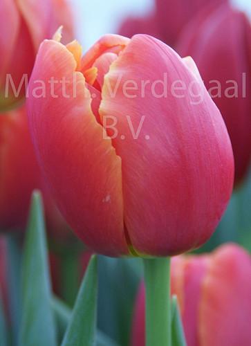 Tulipa Icoon