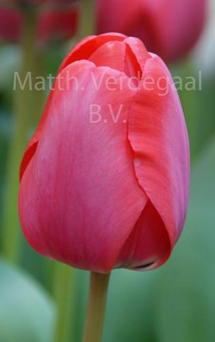 Tulipa Kay