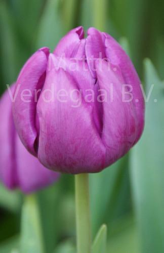 Tulipa Milka