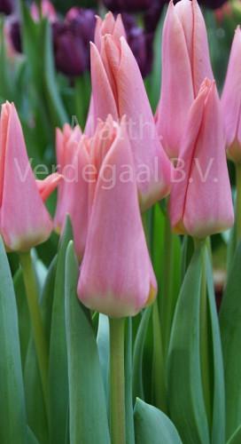 Tulipa Neper