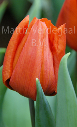 Tulipa Orange Dream