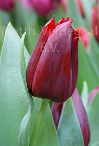 Tulipa Pallada