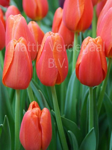 Tulipa Purple Crystal