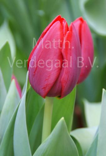Tulipa Renegade