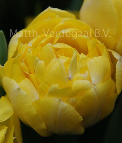 Tulipa Secret Perfume