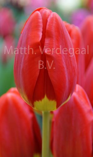Tulipa Silvia