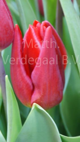 Tulipa Strong Love