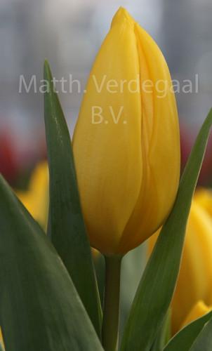 Tulipa Sun Beam