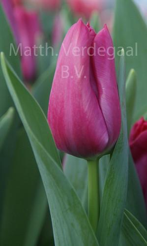 Tulipa Sweet Rosy