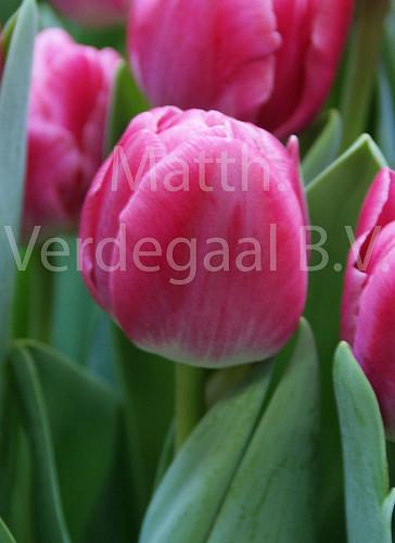 Tulipa Vogue