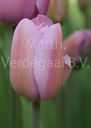 Tulipa Alibi