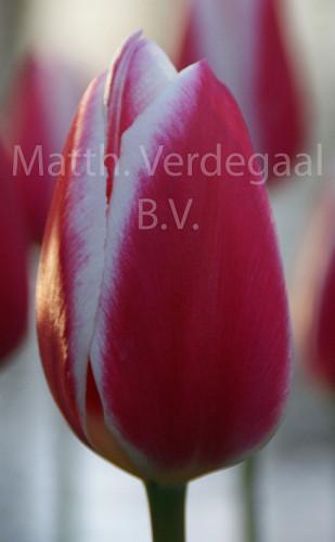 Tulipa Candy Apple Delight