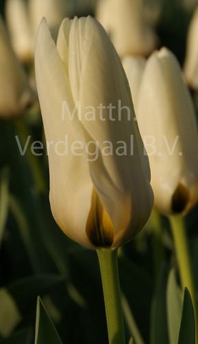 Tulipa Concerto